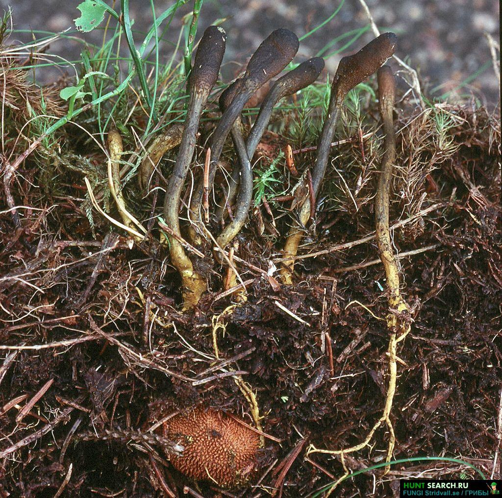 Гриб кордицепс выращивание 48